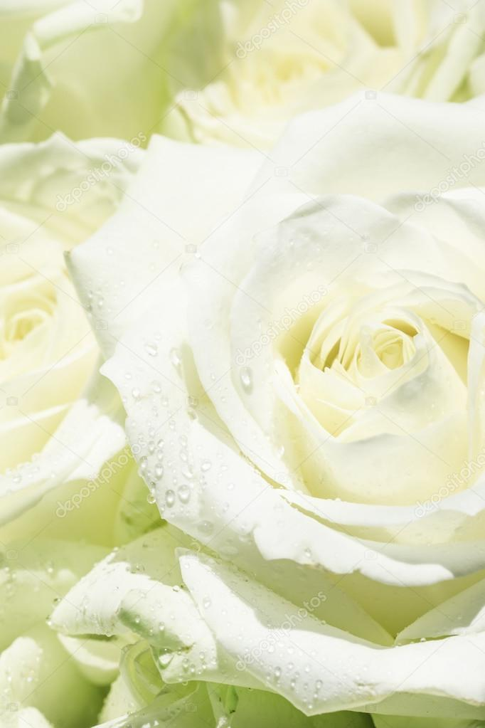 Natural background, bouquet with white and green roses — Stock ...