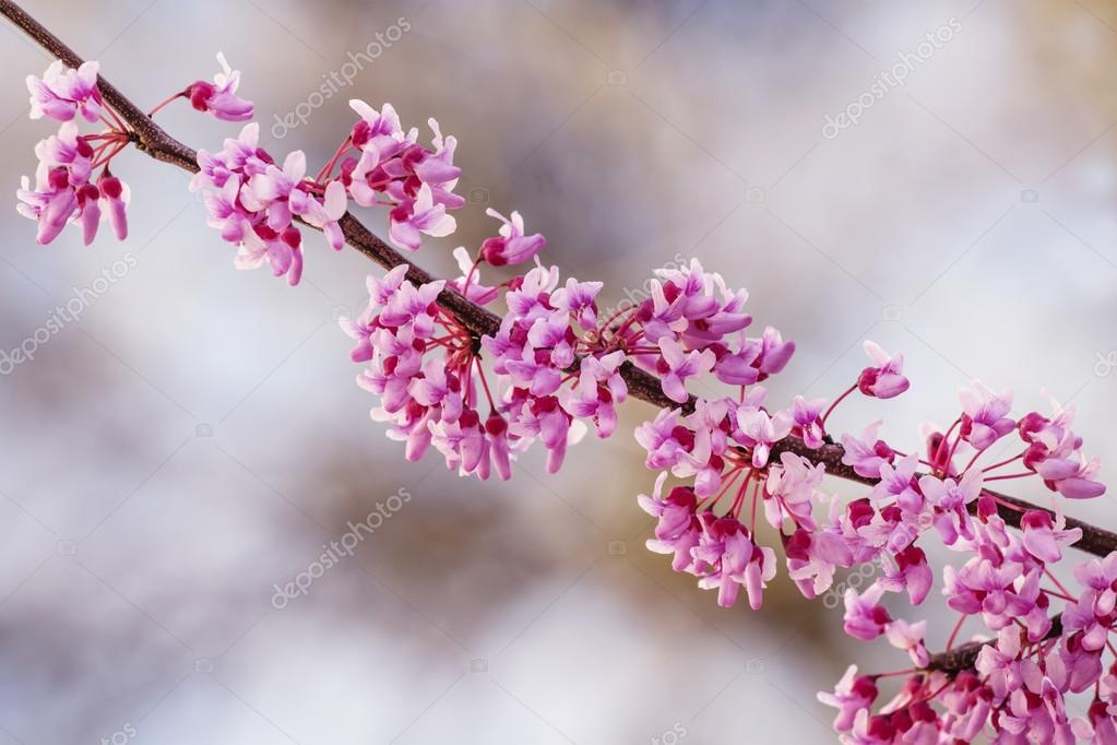 Spring nature background with pink flowering tree