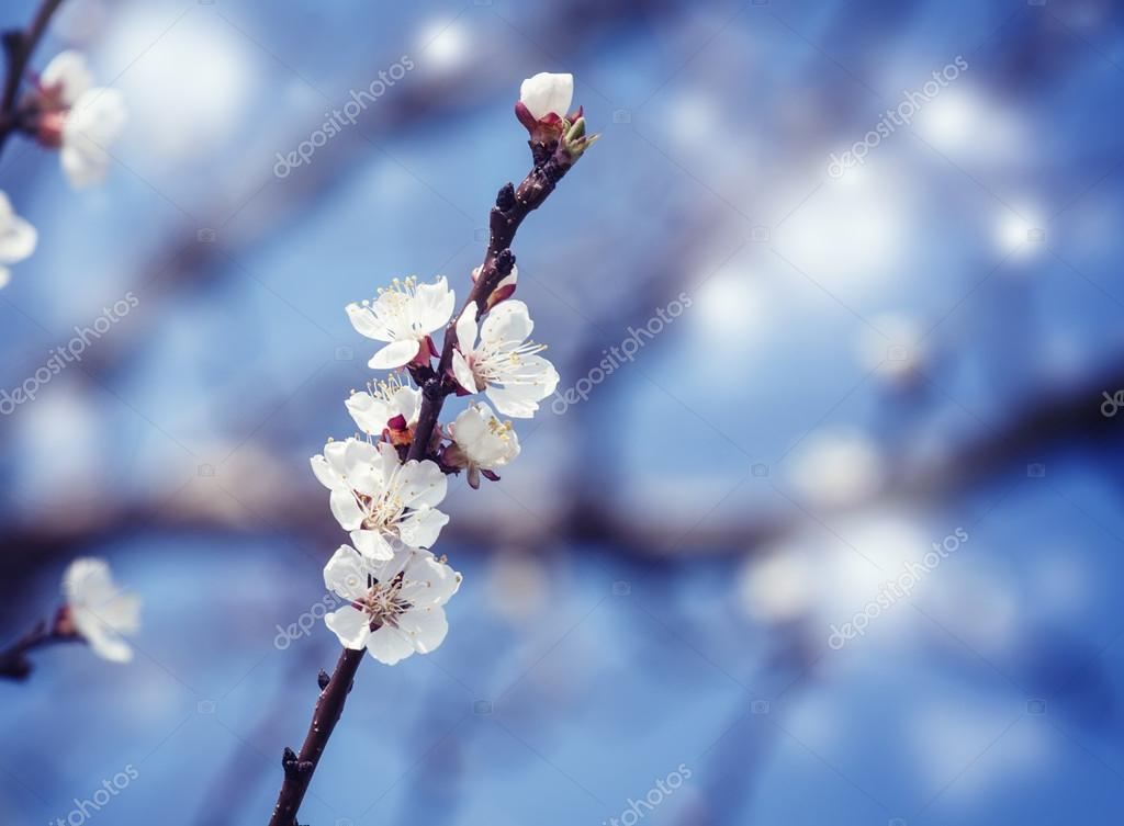 Spring background with flowering apricot  in pastel colors