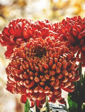 Large red chrysanthemums on the autumn nature blurred background, selective focus stock vector