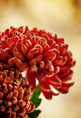 Large red chrysanthemums on the autumn nature blurred background