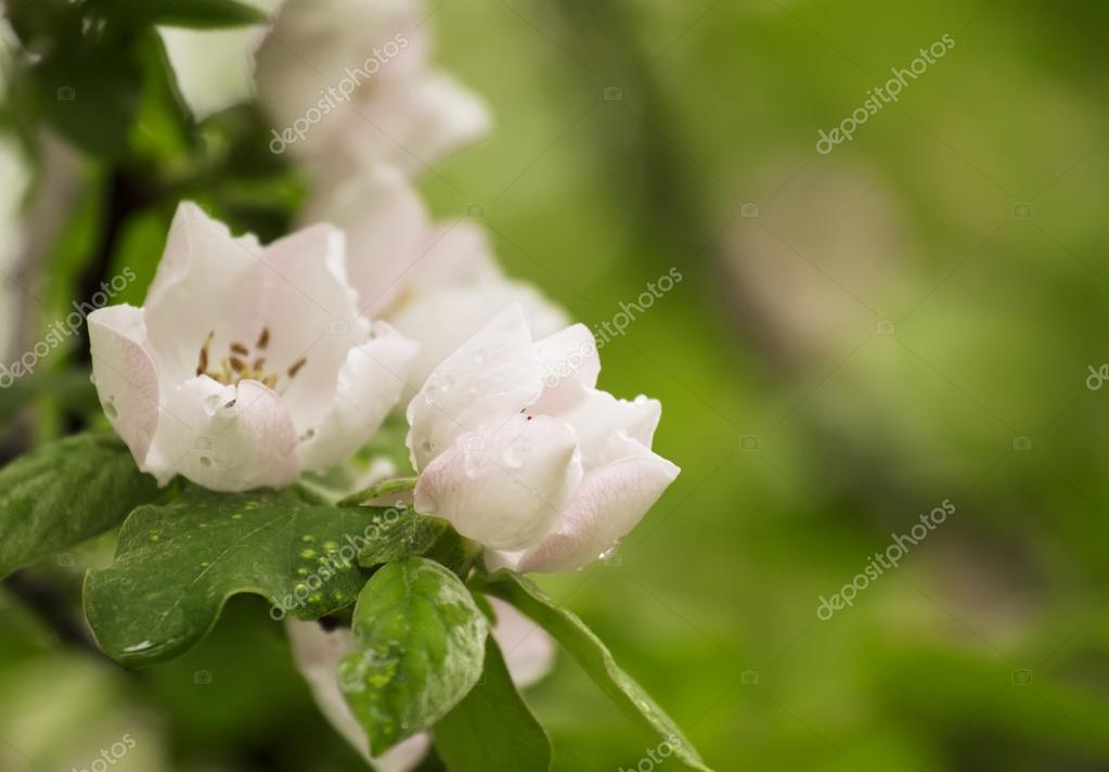 Spring flowering apple