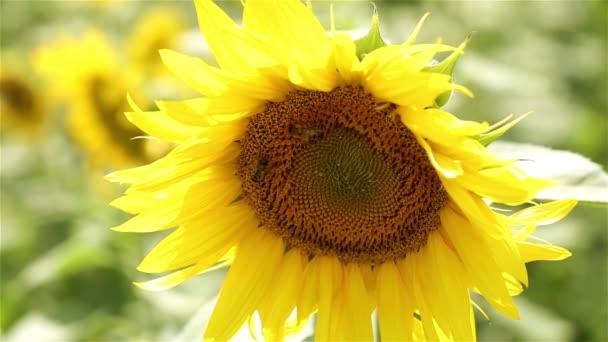 Slunečnice a bee. Včela opyluje slunečnice. Včela na slunečnice. Léto, příroda, slunečné počasí, farma.