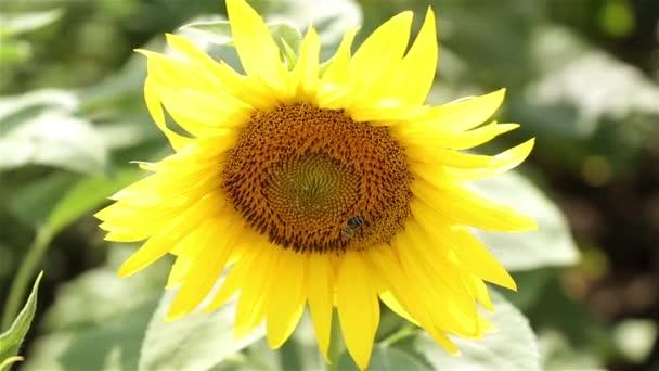 Napraforgó és a méhecske. A méh pollinates a napraforgó. Bee ült a napraforgó. Nyár, természet, napsütés, a gazdaság.
