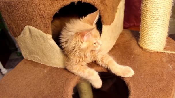 Buffo gatto Maine Coon