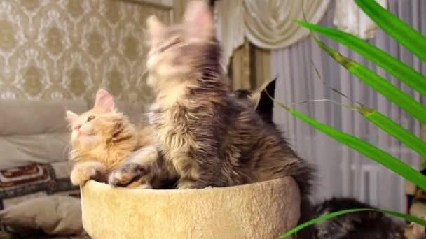 Funny cats Maine Coons