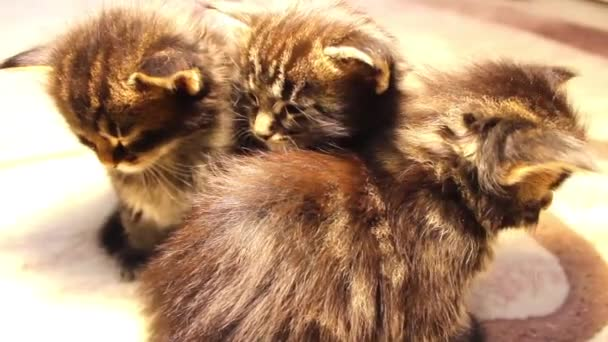Vicces macskák Maine Pék
