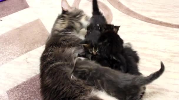 Srandovní kočky Maine hadice