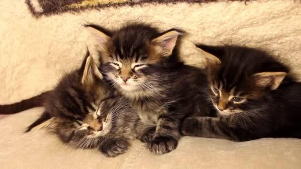 Legrační malá koťata Maine Coon