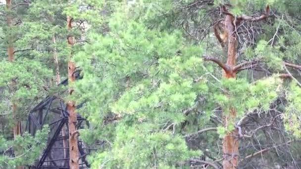 Überprüfung eines Kiefernwaldes im Park