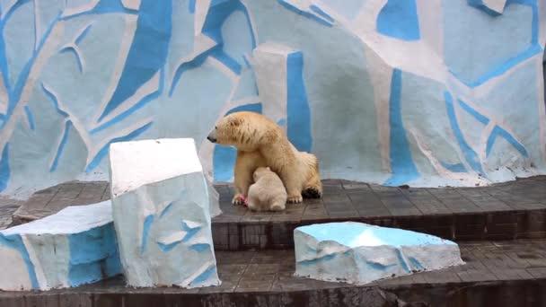ženský lední medvěd živí medvídek