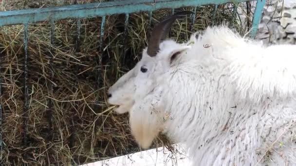 horská koza v zoo