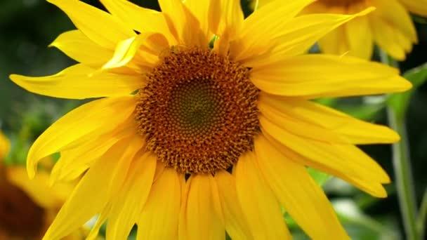 květ slunečnice zblízka