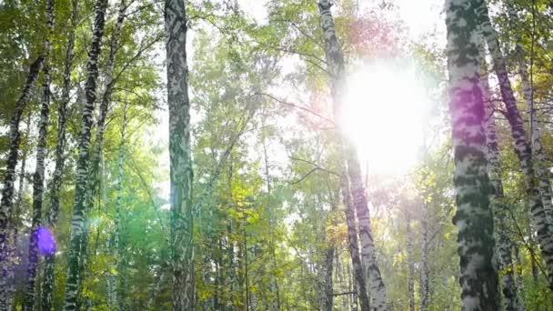 březový les na slunci