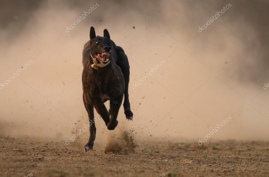 Greyhound Dog in race
