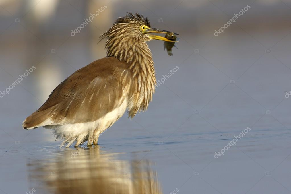 indian pond heron with fish catch