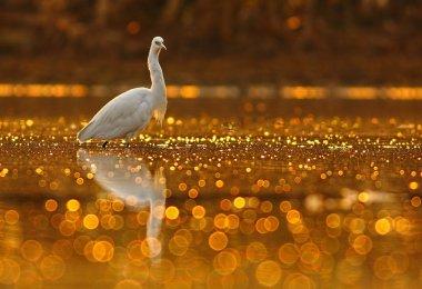 Egret in Bokeh pond