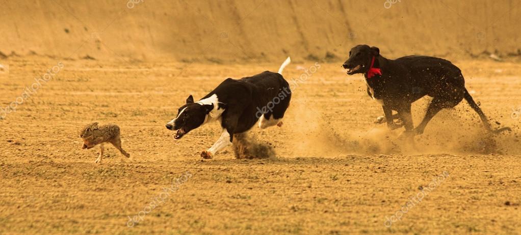 Greyhounds racing hunting the animal