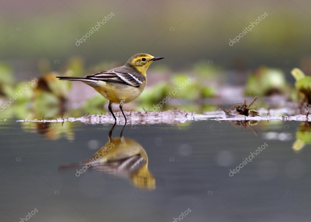 Yellow Wagtail in the morning