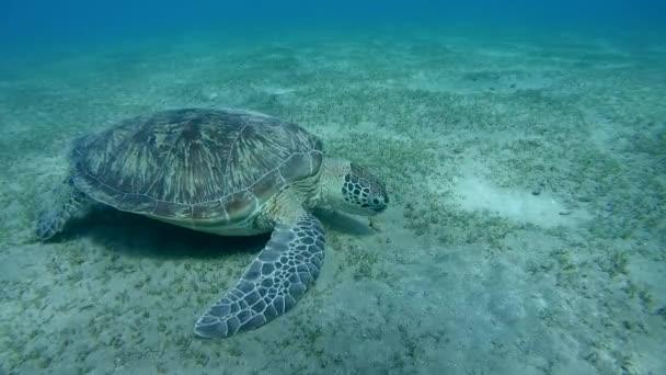 Zöld-tengeri teknős (Chelonia mydas)
