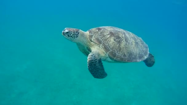 green sea turtle(Chelonia mydas)