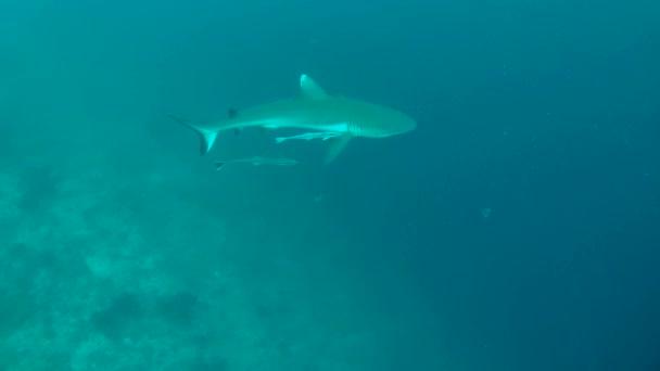 grey reef shark (Carcharhinus amblyrhynchos)