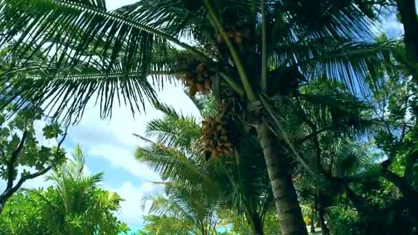 Palm tree with coconuts, Maldives