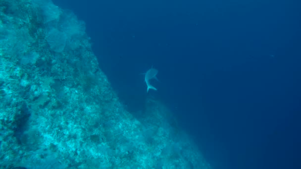 szürke zátony cápa (Carcharhinus amblyrhynchos)