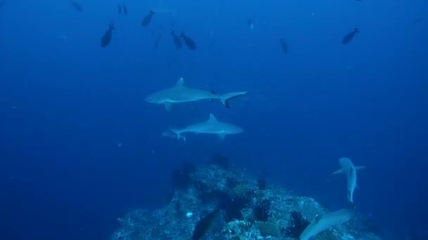 Three grey reef shark (Carcharhinus amblyrhynchos)
