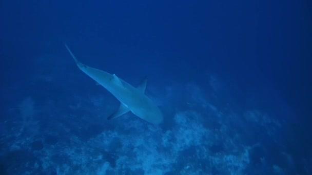 Grauer Riffhai (Carcharhinus amblyrhynchos))