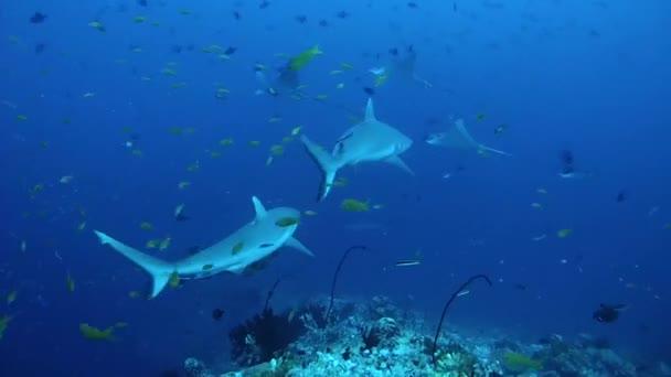 Két szürke zátony cápa (Carcharhinus amblyrhynchos)