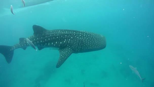 bálna cápa (rhincodon typus)