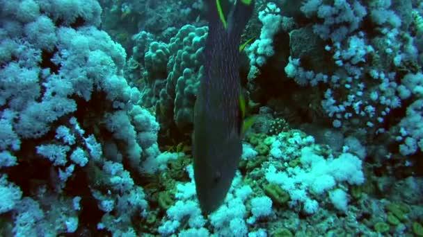 Yellow-edged lyretail or lyretail grouper (Variola louti)