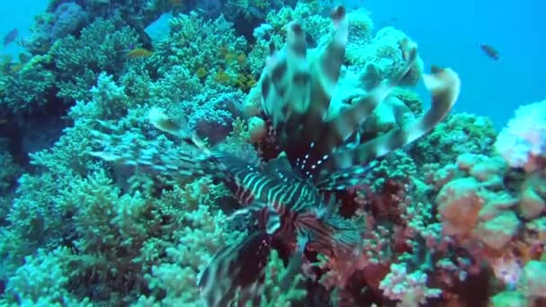 common lionfishordevil firefish(Pterois miles)