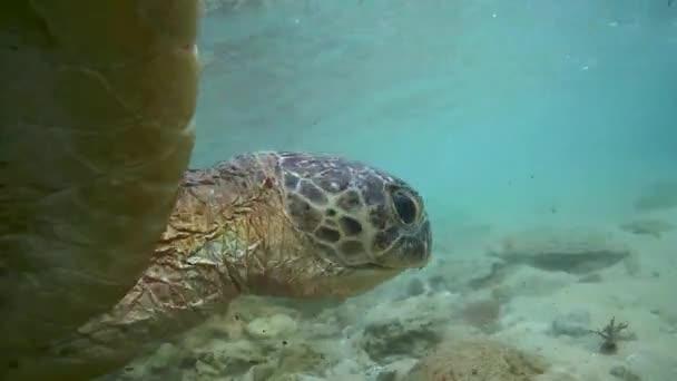 Zöld teknős (Chelonia-mydas)