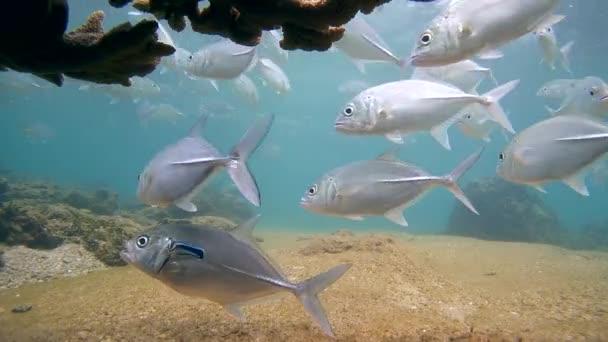 čistší ryby a rybí škola Bigeye trevally (Caranx sexfasciatus)