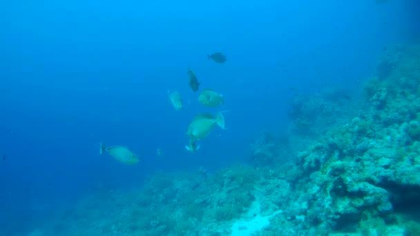 school of Bluespine unicornfish or short-nose unicornfish (Naso unicornis)