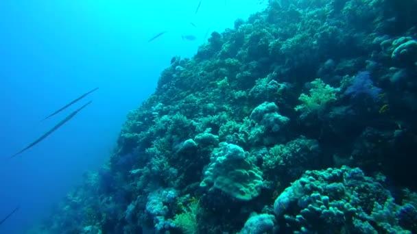 Chinesischer Trompetenfisch, Pazifischer Trompetenfisch oder Stichfisch (aulostomus chinensis))