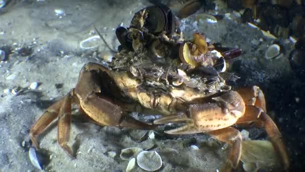 grüne Krabbe (carcinus maenas)).