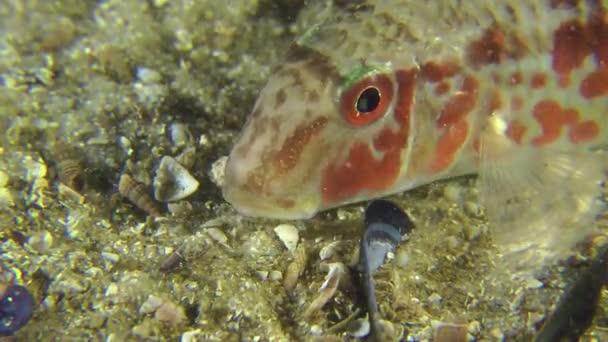 Tengeri hal vörös márna portréja