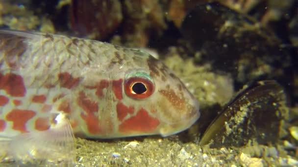 Portrét z mořských ryb pruhovaná
