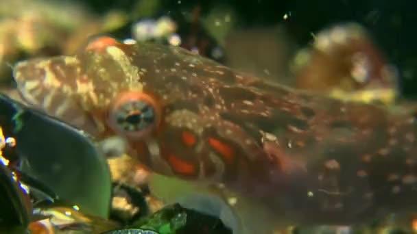 Connemarra clingfish (Lepadogaster candollii) jíst mušle.