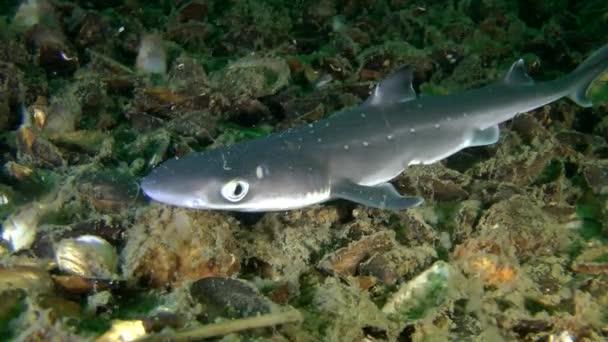 Piked cápa és macskacápa (Squalus acanthias).