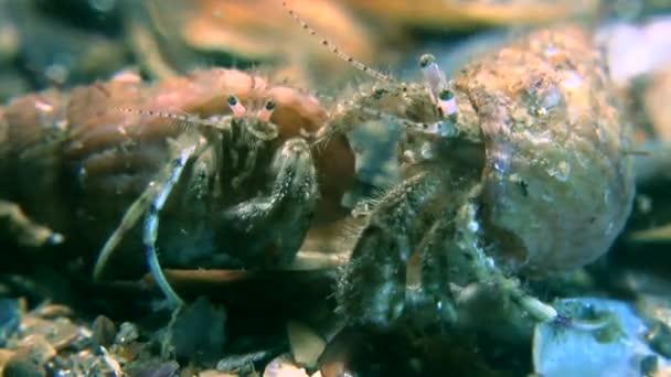 Pairing of Small hermit crab (Diogenes pugilator).