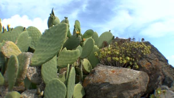 Fügekaktusz kaktusz cserjések