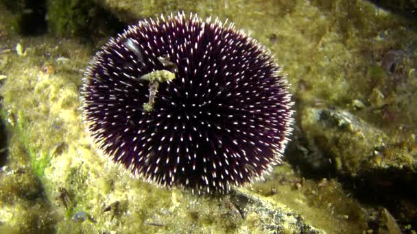 Purple sea urchin (Sphaerechinus granularis) on a rock.