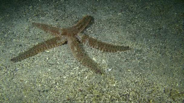Ostnaté hvězdice (Marthasterias glacialis).