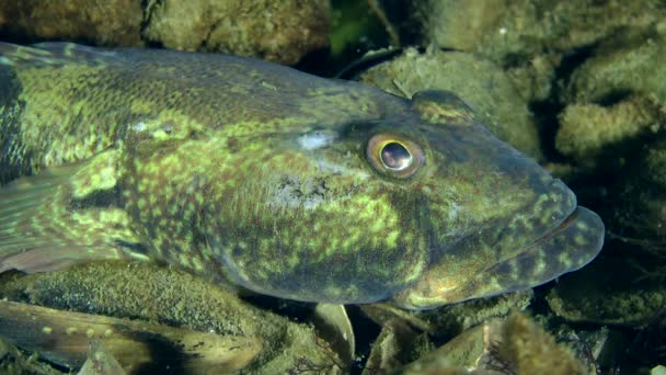 Knout goby fish