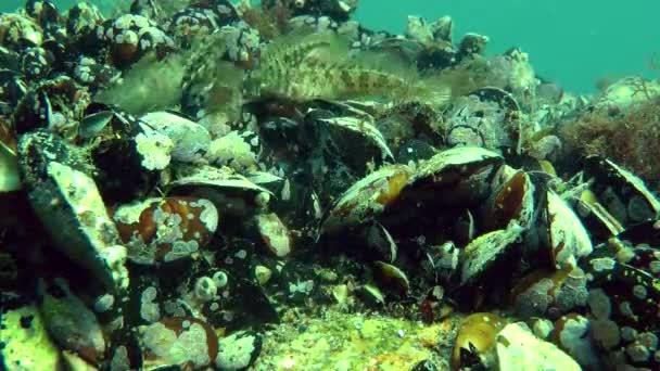 mehrere Meerwasserfische Tentakelblenny (parablennius tentacularis).