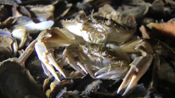 Mating of Swimming crab (Liocarcinus holsatus).